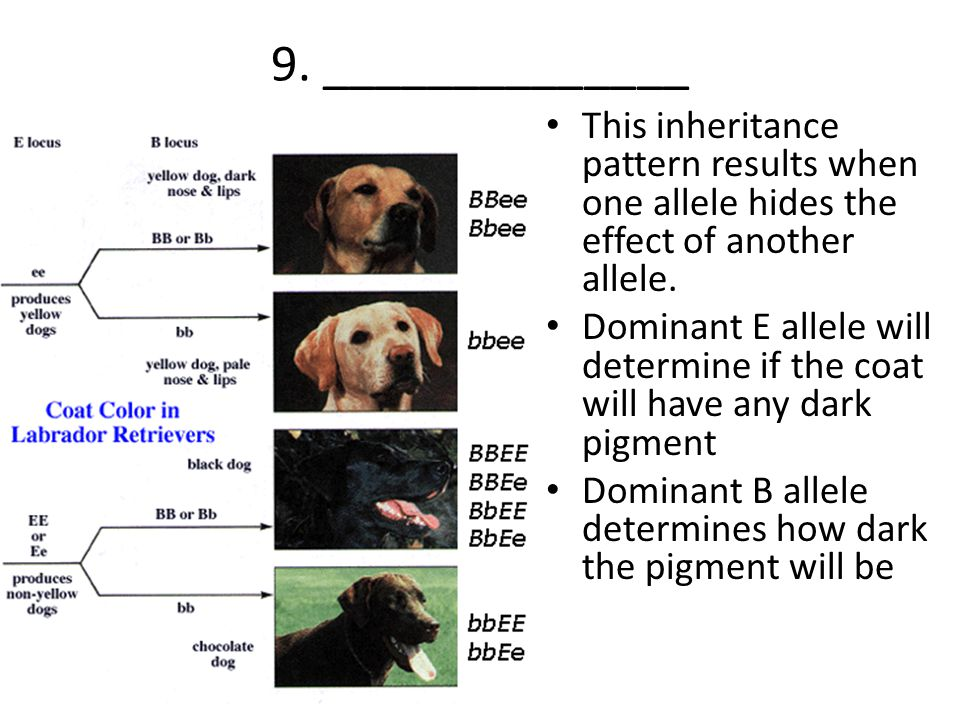 9. ______________ This inheritance pattern results when one allele hides the effect of another allele. Dominant E allele will determine if the coat wi