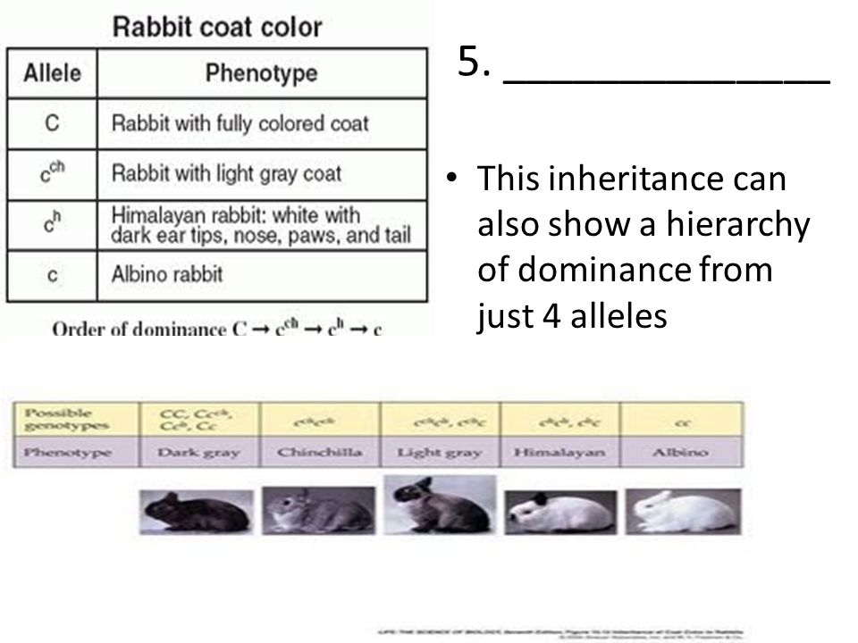 5. ______________ This inheritance can also show a hierarchy of dominance from just 4 alleles
