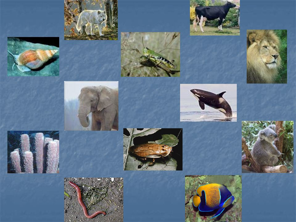 A Brief Overview… Of all the kingdoms, the animal kingdom is the most diverse in appearance Of all the kingdoms, the animal kingdom is the most diverse in appearance Each phylum in the animal kingdom has its own body plan Each phylum in the animal kingdom has its own body plan One major division that we look at is vertebrates and invertebrates One major division that we look at is vertebrates and invertebrates