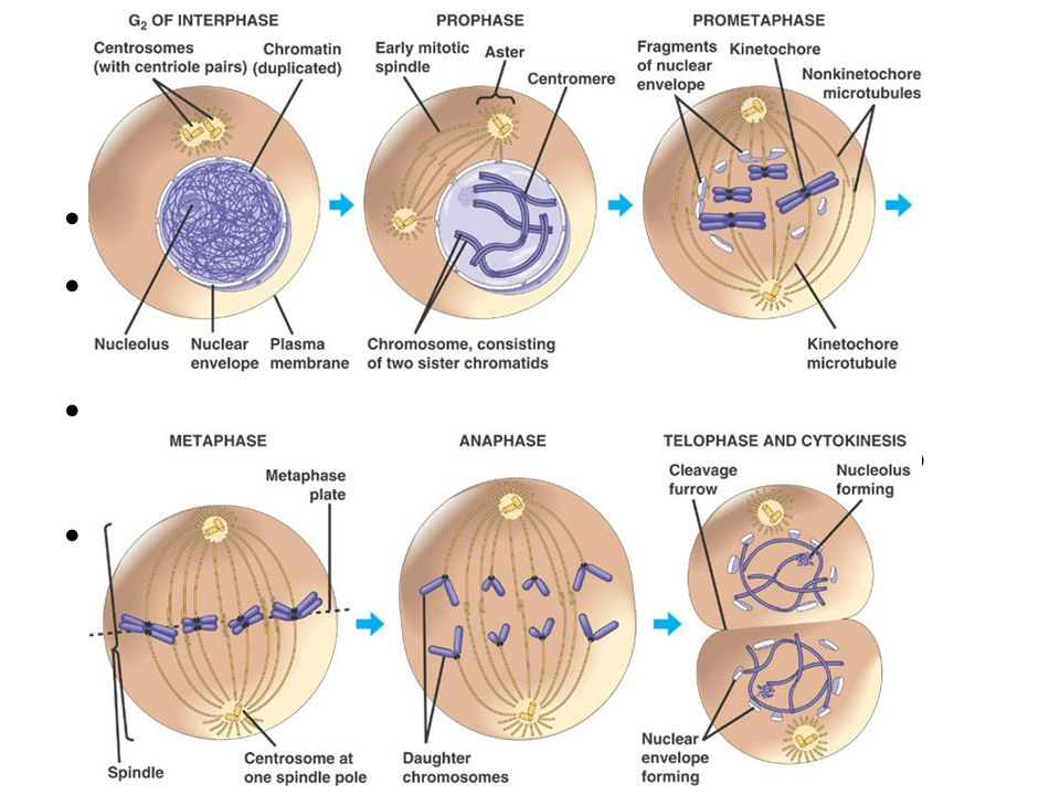 Mitosis nuclear division the same number of chromosomes are distributed into each nucleus.