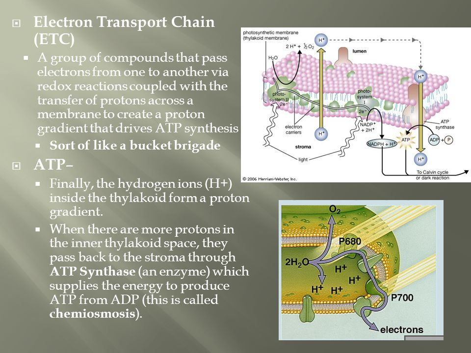  Electron Transport Chain (ETC)  A group of compounds that pass electrons from one to another via redox reactions coupled with the transfer of proto