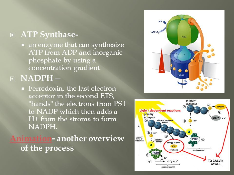  ATP Synthase-  an enzyme that can synthesize ATP from ADP and inorganic phosphate by using a concentration gradient  NADPH —  Ferredoxin, the las