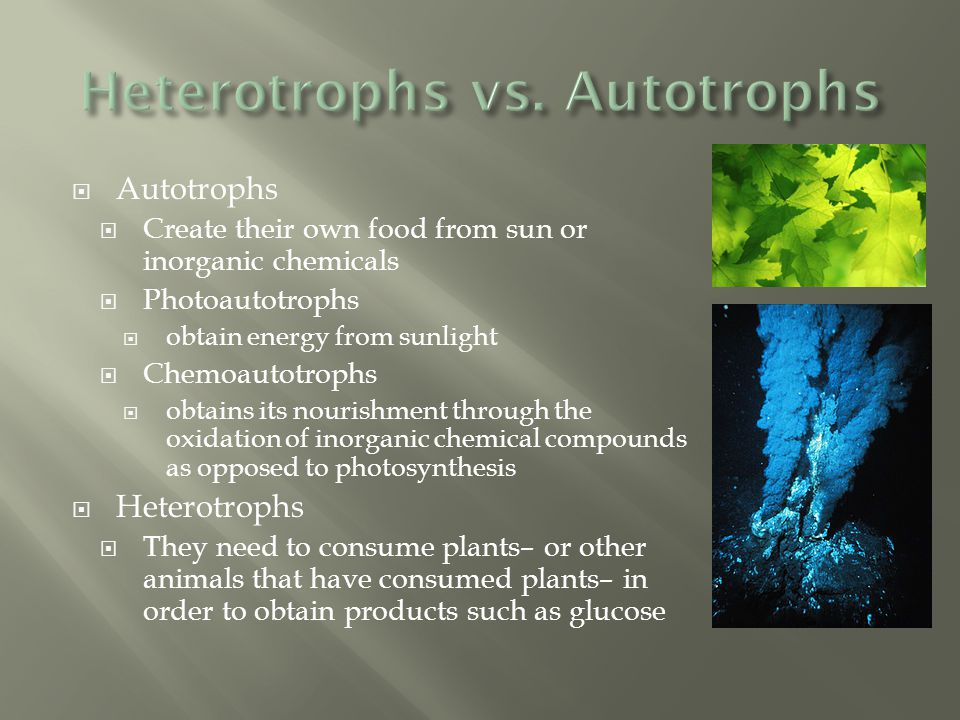  Autotrophs  Create their own food from sun or inorganic chemicals  Photoautotrophs  obtain energy from sunlight  Chemoautotrophs  obtains its n