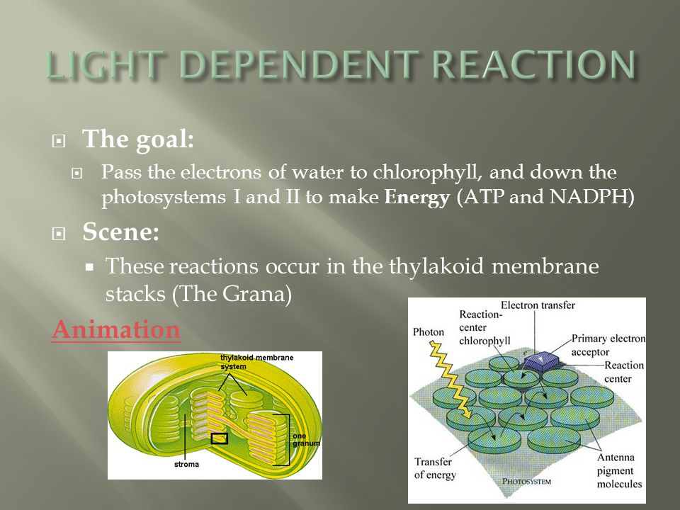  The goal:  Pass the electrons of water to chlorophyll, and down the photosystems I and II to make Energy (ATP and NADPH)  Scene:  These reactions