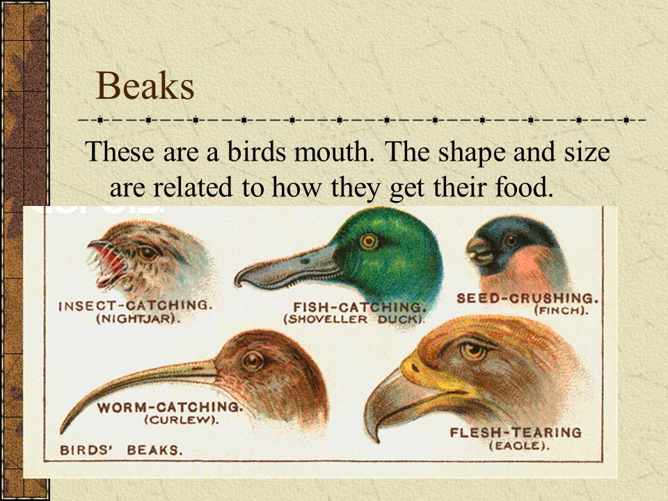 Beaks These are a birds mouth. The shape and size are related to how they get their food.