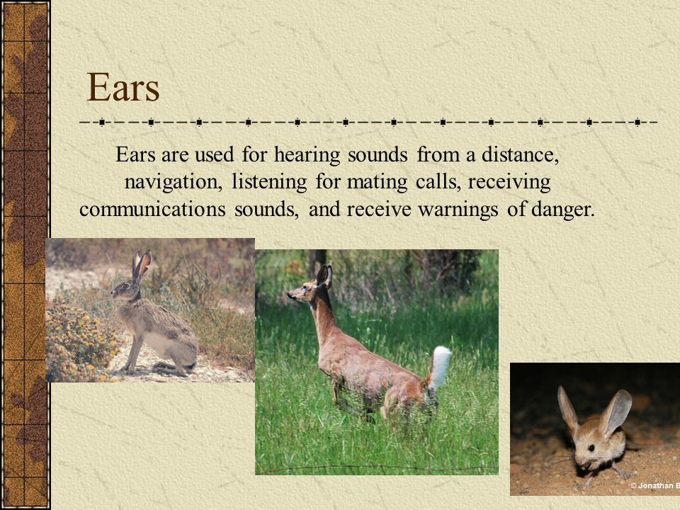 Ears Ears are used for hearing sounds from a distance, navigation, listening for mating calls, receiving communications sounds, and receive warnings o