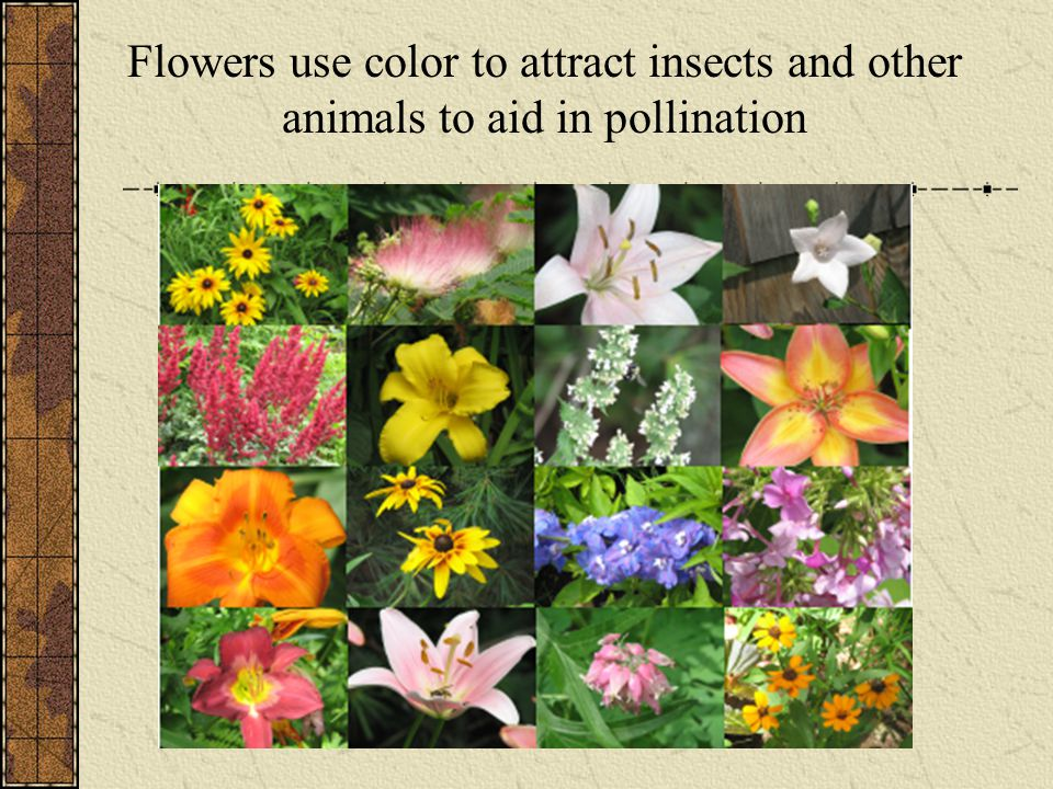 Flowers use color to attract insects and other animals to aid in pollination