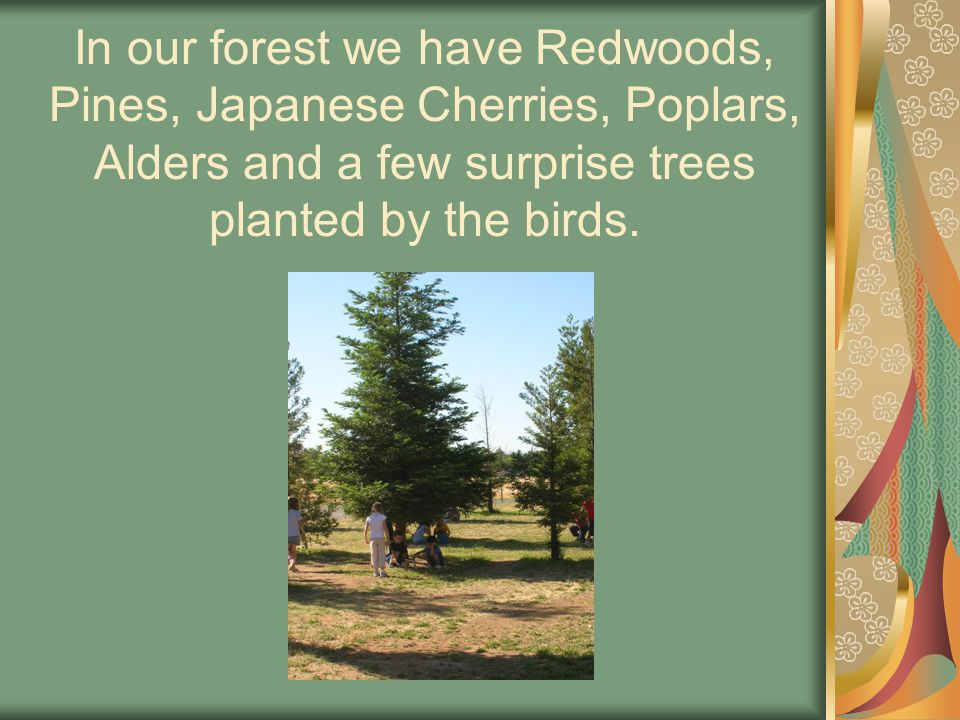 In our forest we have Redwoods, Pines, Japanese Cherries, Poplars, Alders and a few surprise trees planted by the birds.