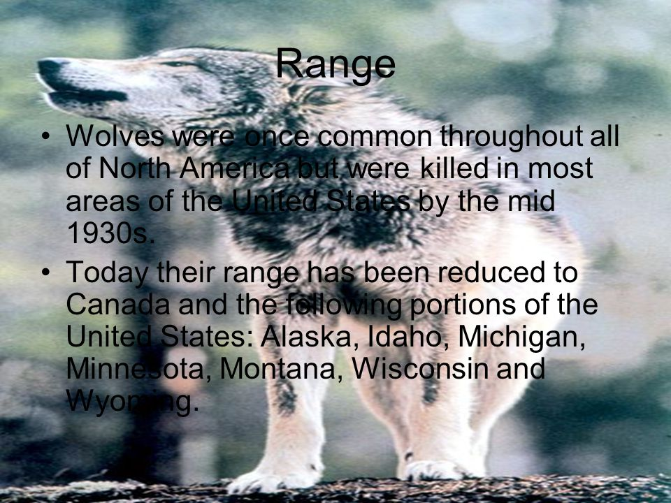 Range Wolves were once common throughout all of North America but were killed in most areas of the United States by the mid 1930s. Today their range h