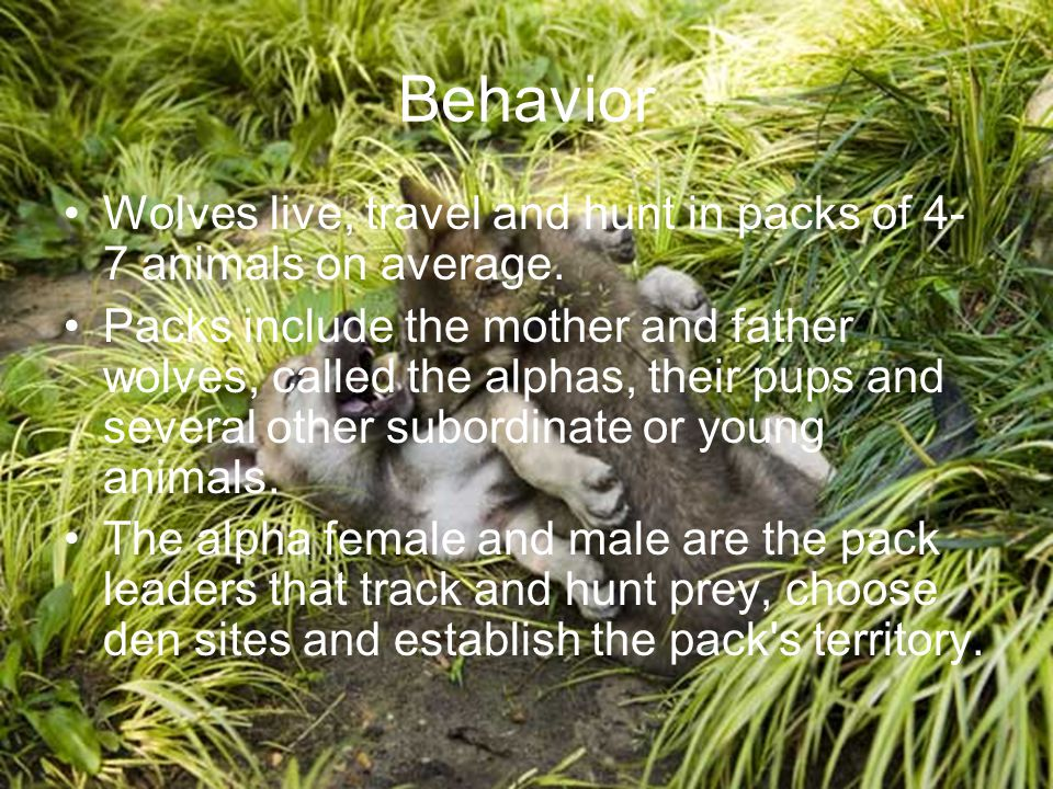 Behavior Wolves live, travel and hunt in packs of 4- 7 animals on average. Packs include the mother and father wolves, called the alphas, their pups a