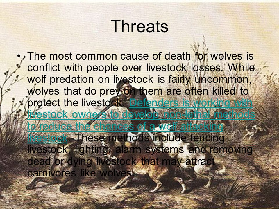 Threats The most common cause of death for wolves is conflict with people over livestock losses. While wolf predation on livestock is fairly uncommon,