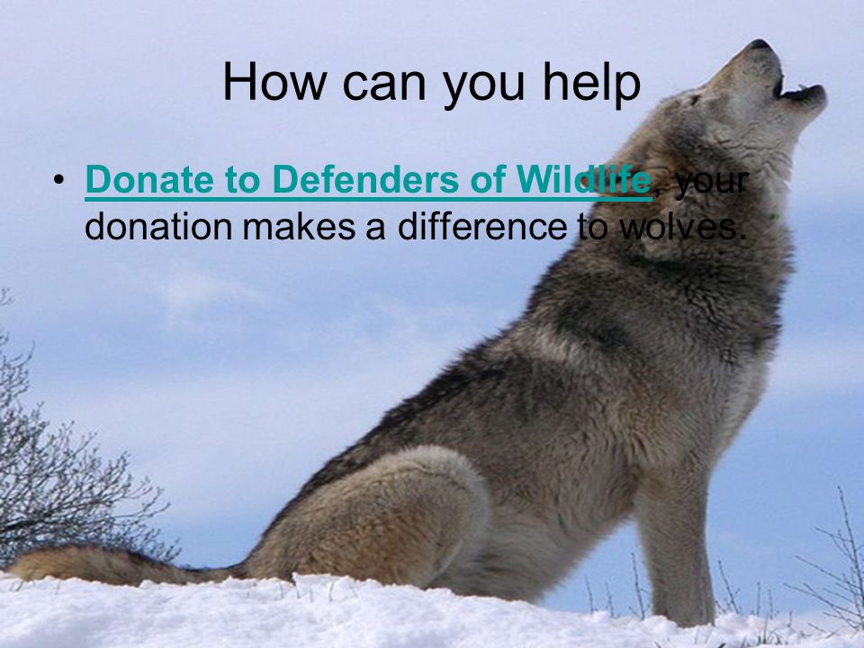 How can you help Donate to Defenders of Wildlife, your donation makes a difference to wolves.Donate to Defenders of Wildlife