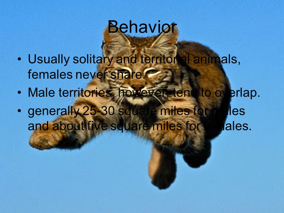 Behavior Usually solitary and territorial animals, females never share.
