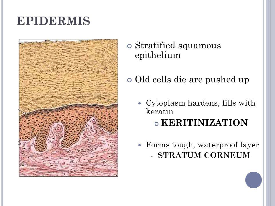 EPIDERMAL LAYERS Stratum corneum Stratum lucidum Only in thick skin Stratum granulosum Stratum spinosum Stratum basale