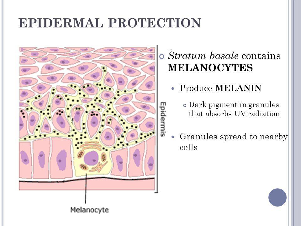 SKIN COLOR Everyone has the same # of melanocytes Skin color depends on amount of melanin produced Other factors: Blood supply Beta – carotene Bilirubin Dark Skin Light Skin