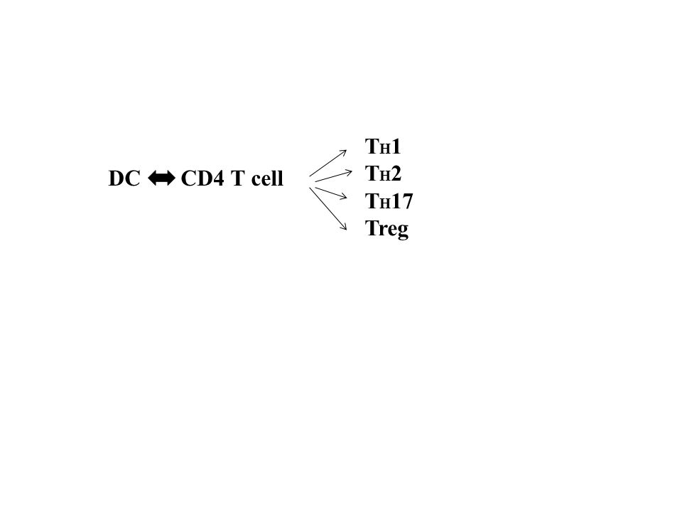 DC CD4 T cell T H 1 T H 2 T H 17 Treg