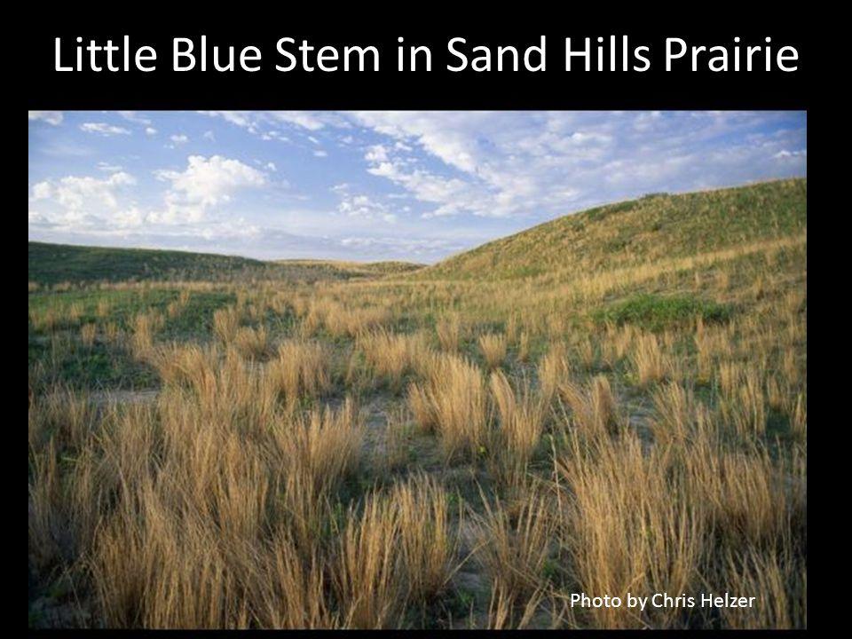 Little Blue Stem in Sand Hills Prairie Photo by Chris Helzer