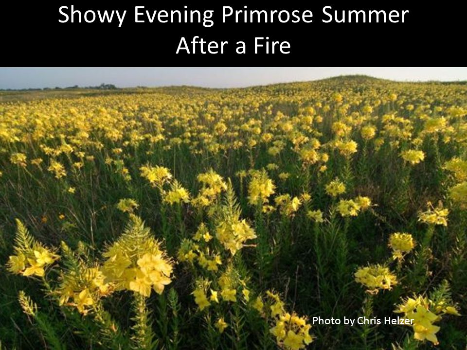 Showy Evening Primrose Summer After a Fire Photo by Chris Helzer