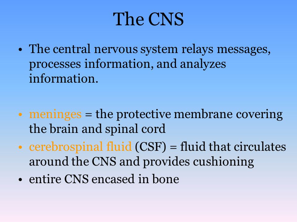 The CNS The central nervous system relays messages, processes information, and analyzes information. meninges = the protective membrane covering the b