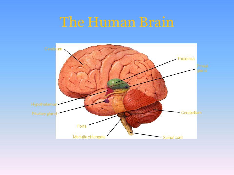 Pons Pituitary gland Hypothalamus Cerebrum Medulla oblongata Spinal cord Cerebellum Pineal gland Thalamus The Human Brain