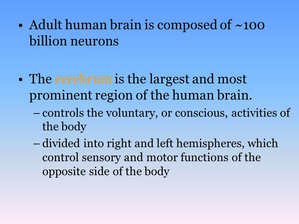 Adult human brain is composed of ~100 billion neurons The cerebrum is the largest and most prominent region of the human brain. –controls the voluntar