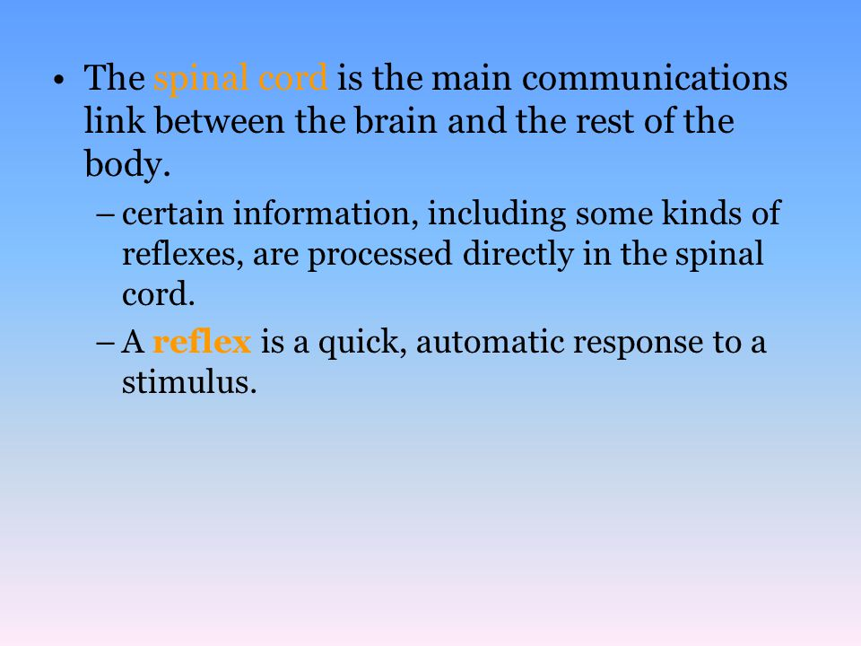 The spinal cord is the main communications link between the brain and the rest of the body. –certain information, including some kinds of reflexes, ar