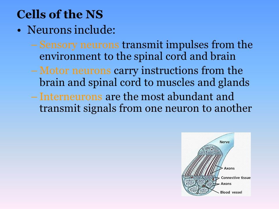 Cells of the NS Neurons include: –Sensory neurons transmit impulses from the environment to the spinal cord and brain –Motor neurons carry instruction