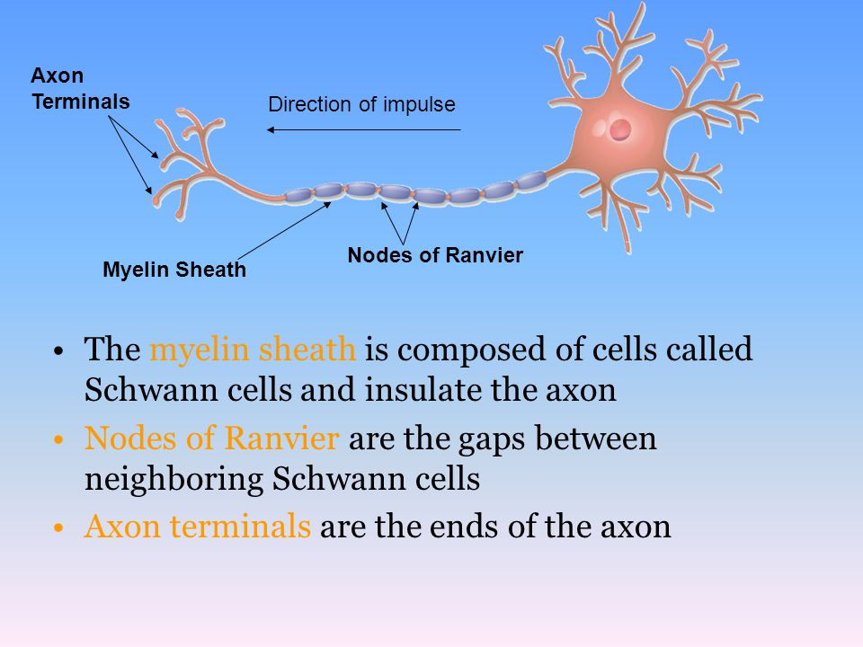 The myelin sheath is composed of cells called Schwann cells and insulate the axon Nodes of Ranvier are the gaps between neighboring Schwann cells Axon