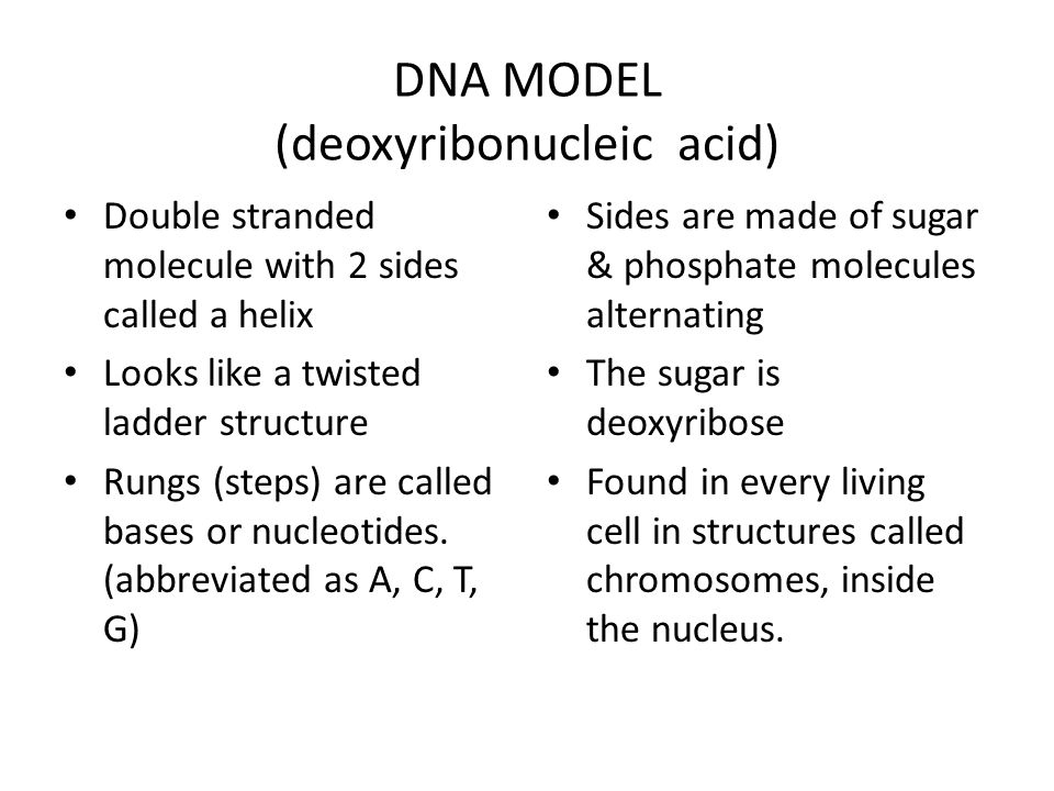 DNA MODEL (deoxyribonucleic acid) Double stranded molecule with 2 sides called a helix Looks like a twisted ladder structure Rungs (steps) are called