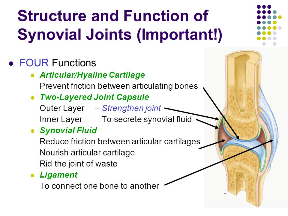 Structure and Function of Synovial Joints (Important!) FOUR Functions Articular/Hyaline Cartilage Prevent friction between articulating bones Two-Laye