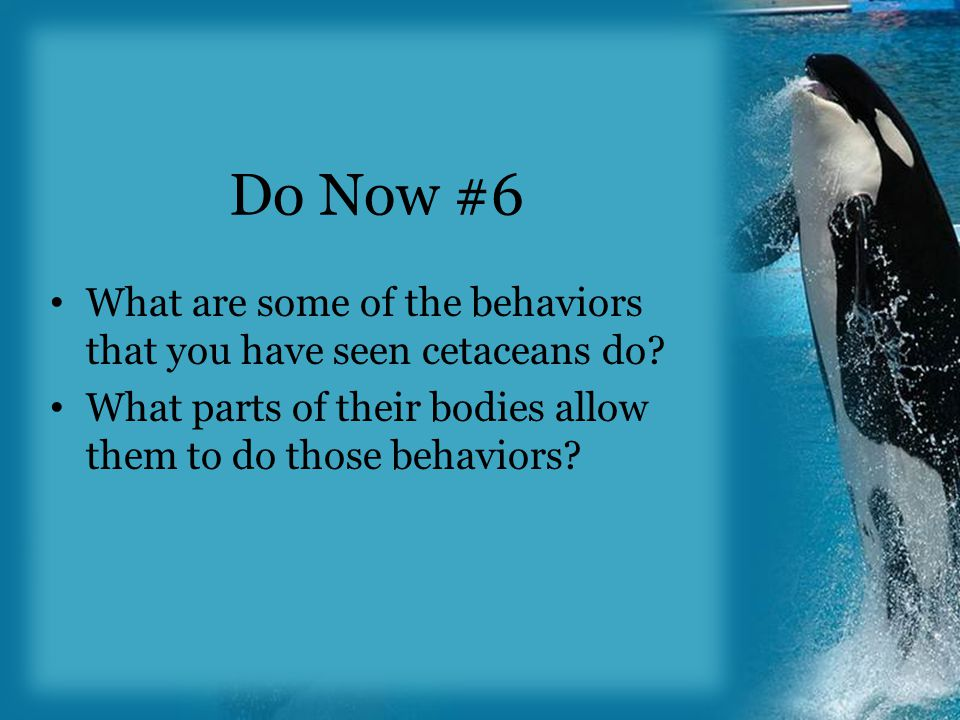 Do Now #6 What are some of the behaviors that you have seen cetaceans do.
