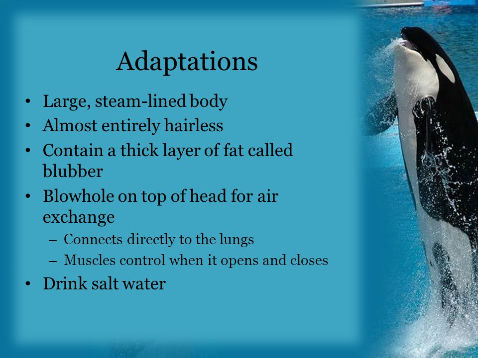 Adaptations Large, steam-lined body Almost entirely hairless Contain a thick layer of fat called blubber Blowhole on top of head for air exchange – Connects directly to the lungs – Muscles control when it opens and closes Drink salt water