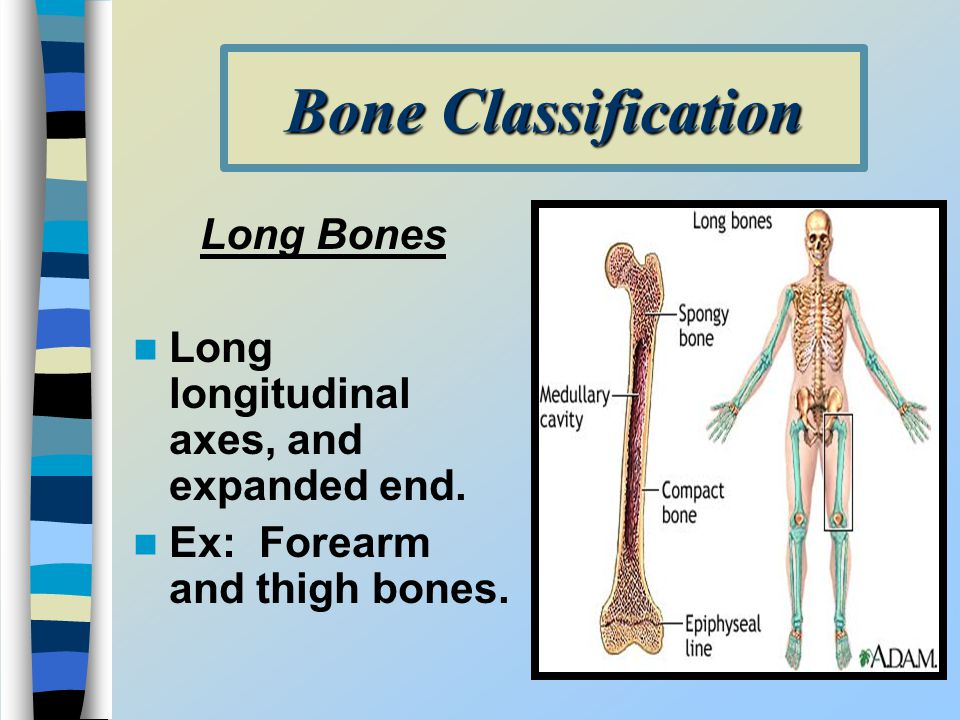 Bone Classification Long Bones Long longitudinal axes, and expanded end. Ex: Forearm and thigh bones.