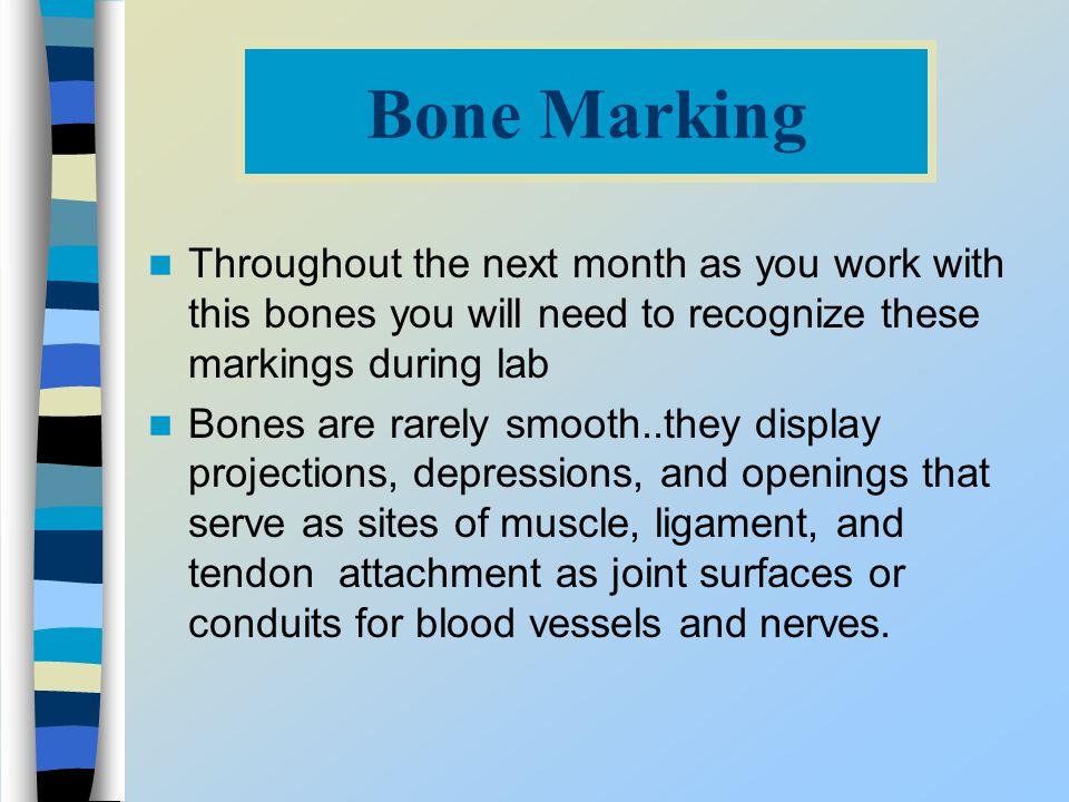 Bone Marking Throughout the next month as you work with this bones you will need to recognize these markings during lab Bones are rarely smooth..they