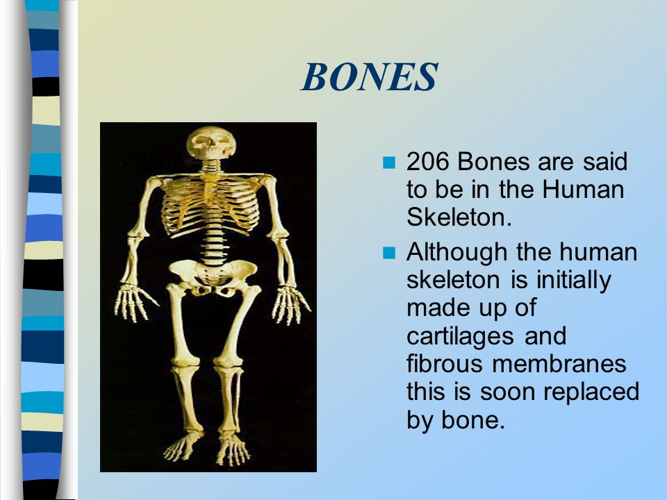 BONES 206 Bones are said to be in the Human Skeleton. Although the human skeleton is initially made up of cartilages and fibrous membranes this is soo