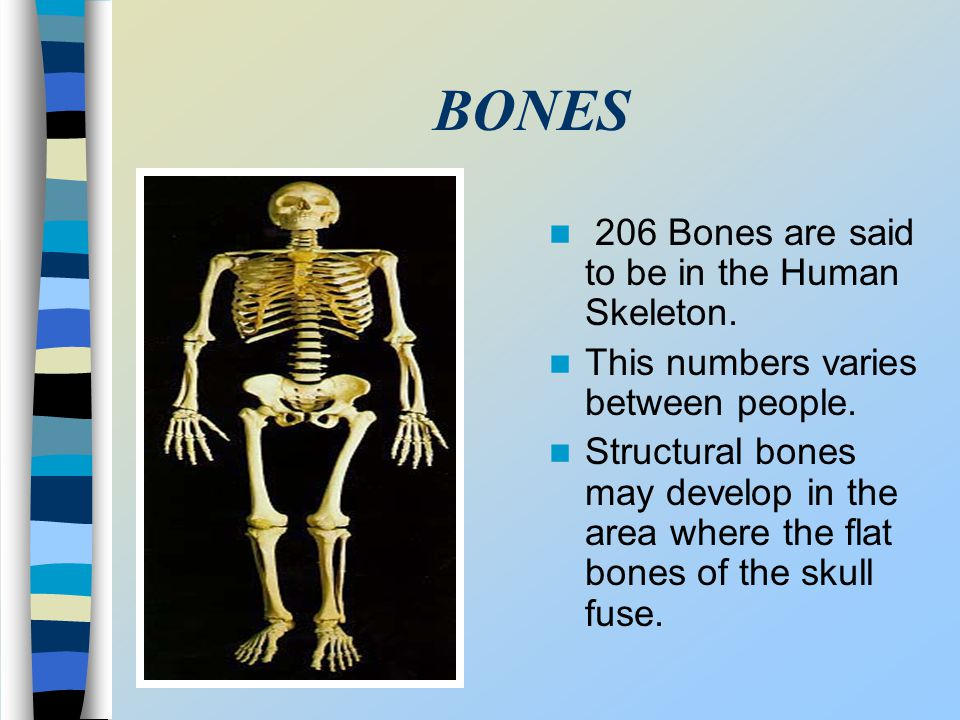 BONES 206 Bones are said to be in the Human Skeleton. This numbers varies between people. Structural bones may develop in the area where the flat bone