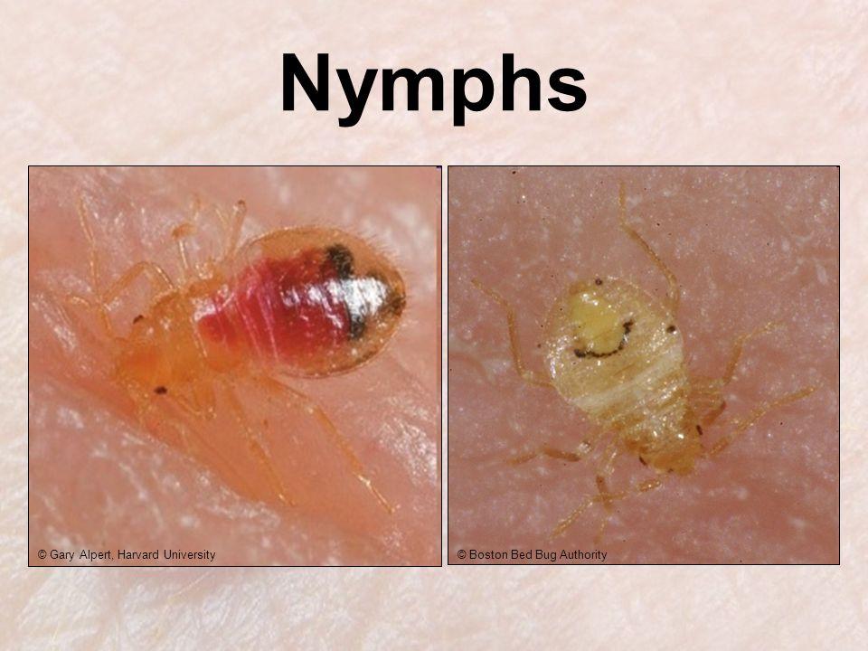 © Gary Alpert, Harvard University© Boston Bed Bug Authority Nymphs