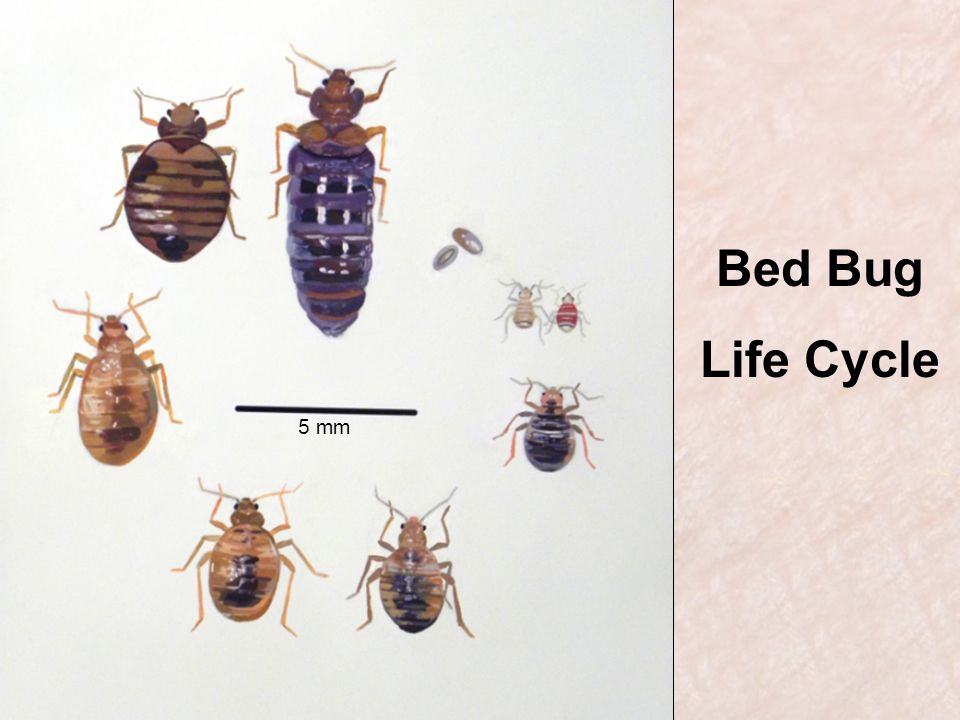 Bed Bug Life Cycle 5 mm