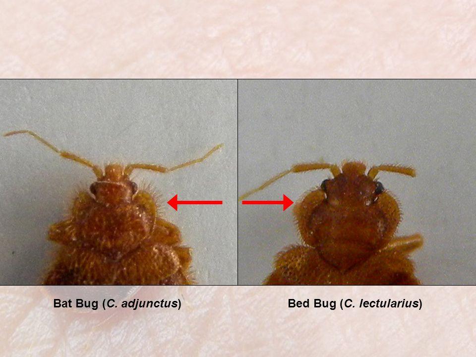 Bat Bug (C. adjunctus)Bed Bug (C. lectularius)