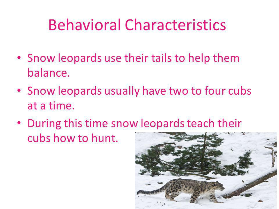 Behavioral Characteristics Snow leopards use their tails to help them balance. Snow leopards usually have two to four cubs at a time. During this time