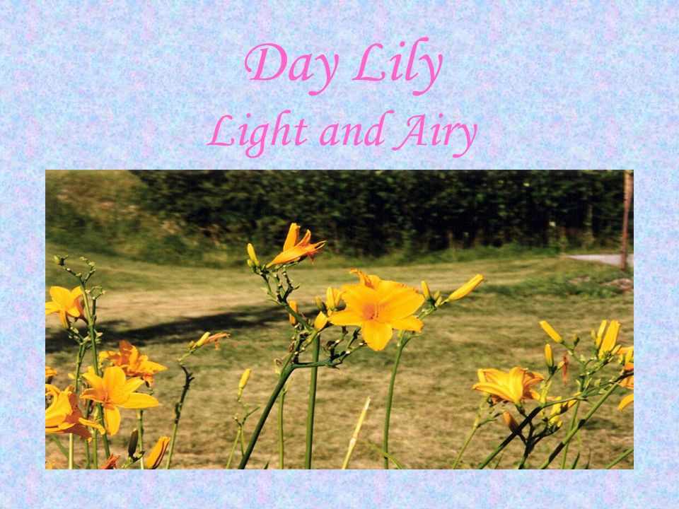 Day Lily Light and Airy