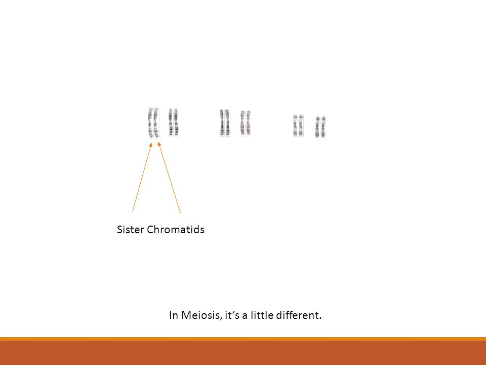 In Meiosis, it's a little different. Sister Chromatids