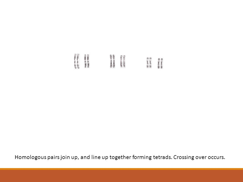 Homologous pairs join up, and line up together forming tetrads. Crossing over occurs.