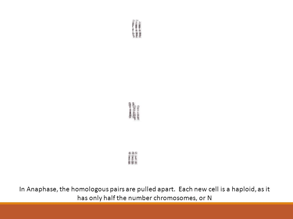 In Anaphase, the homologous pairs are pulled apart. Each new cell is a haploid, as it has only half the number chromosomes, or N