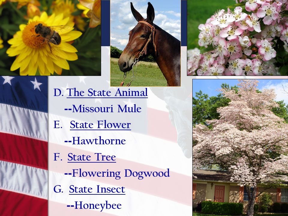 D. The State Animal -- Missouri Mule E. State Flower -- Hawthorne F. State Tree -- Flowering Dogwood G. State Insect -- Honeybee