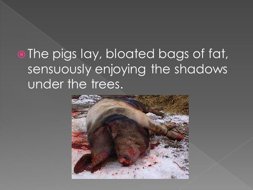  The pigs lay, bloated bags of fat, sensuously enjoying the shadows under the trees.