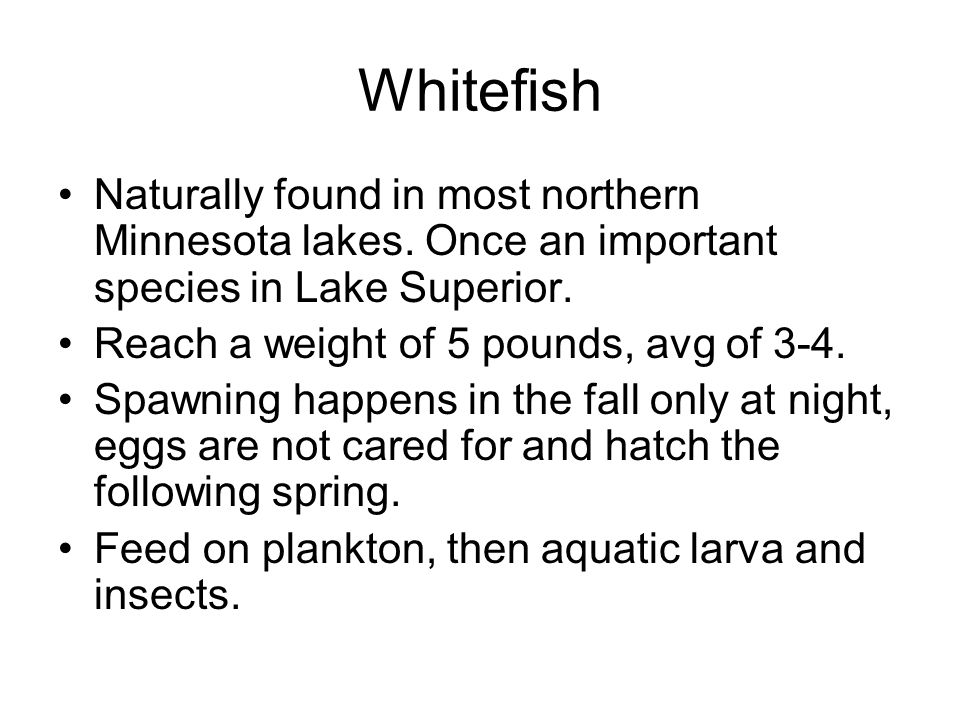 Whitefish Naturally found in most northern Minnesota lakes. Once an important species in Lake Superior. Reach a weight of 5 pounds, avg of 3-4. Spawni