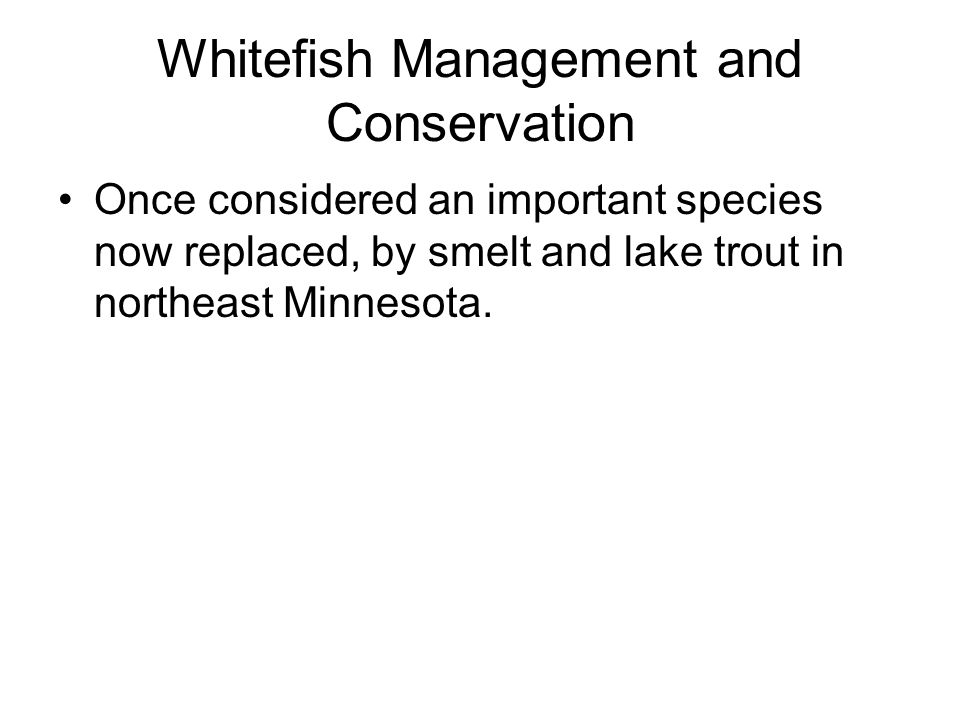 Whitefish Management and Conservation Once considered an important species now replaced, by smelt and lake trout in northeast Minnesota.