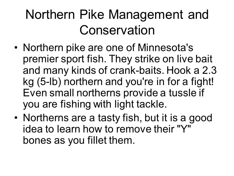 Northern Pike Management and Conservation Northern pike are one of Minnesota's premier sport fish. They strike on live bait and many kinds of crank-ba