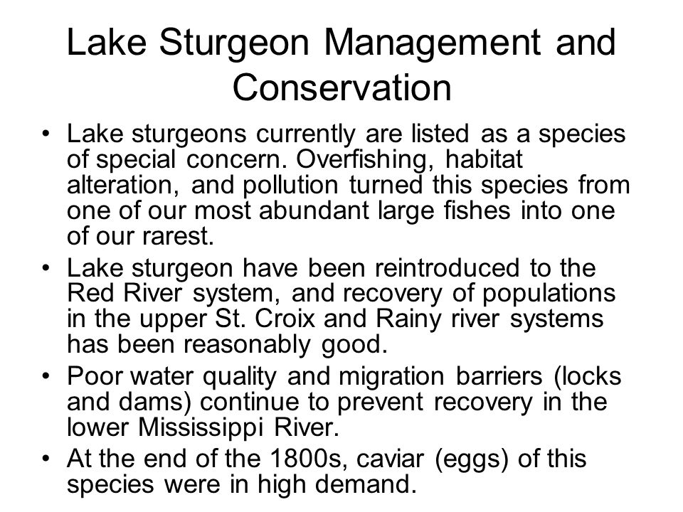 Lake Sturgeon Management and Conservation Lake sturgeons currently are listed as a species of special concern. Overfishing, habitat alteration, and po
